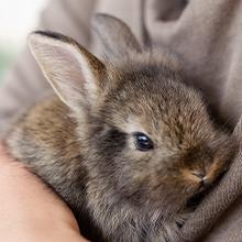 Kaninchen-KV