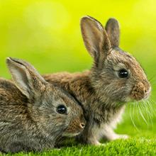 Kaninchen-OP